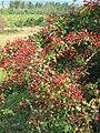 Hawthorn Berries.JPG