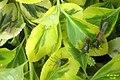 Hawthorn shieldbug (BG) (7137856675).jpg