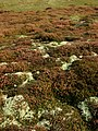 Heather and Reindeer Moss - geograph.org.uk - 581141.jpg