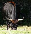Heck cattle Wildpark Alte Fasanerie Juni 2012.jpg