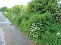 Hedgerow near the Rhymer's Stone - geograph.org.uk - 1317888.jpg