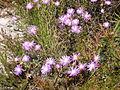 Helderberg Nature Reserve - Fynbos 6.JPG