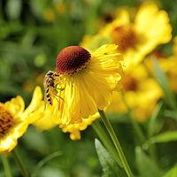 Helenium autumnale-IMG 6126.jpg