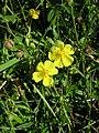 Helianthemum nummularium inflorescence (06).jpg