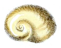 Helicarion mastersi shell.png