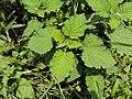 Heliotropium indicum 06a.JPG