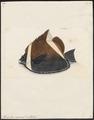 Heniochus varius - 1700-1880 - Print - Iconographia Zoologica - Special Collections University of Amsterdam - UBA01 IZ13100211.tif