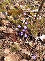 Hepatica nobilis fleurs20.03.2005 2.JPG