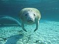 Here's Looking at You Kid - Meet a Florida Manatee.jpg