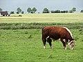 Hereford bull - geograph.org.uk - 821499.jpg