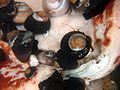 Hermit crabs scavenge at Gumboot chiton 2.jpg