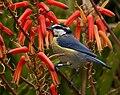Herrerillo común (Parus caruleus teneriffae).jpg