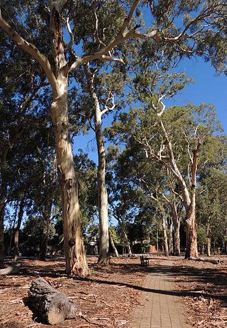 Heywood Park - Heywood Park gum trees, January 2015