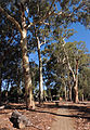 Heywood Park gum trees.jpg