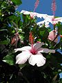 Hibiscus (9).jpg