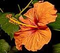 Hibiscus 8737.jpg