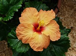 Hibiscus rosa sinensis wikivisually hibiscus ag ccuart Image collections