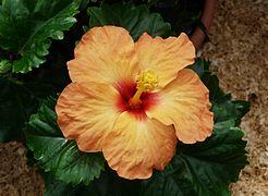 Hibiscus A.JPG