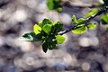 Hibiscus fragilis 4zz.jpg