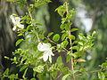 Hibiscus in rajbiraj (3).JPG