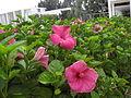 Hibiscus rosa-sinensis, Oahu, Hawaii, USA.jpg