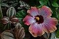 Hibiscus rosa-sinensis (Malvaceae) 1.jpg