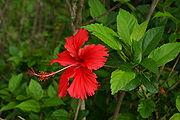 Hibiscus rosa-sinensis flower 2.JPG