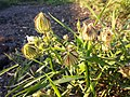 Hibiscus trionum sl43.jpg