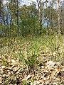 Hierochloe australis sl29.jpg