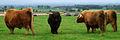 Highland Cattle at Gretna Green 2.jpg