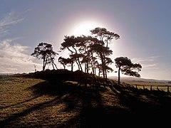 Hilltop Scots Pine - geograph.org.uk - 281076.jpg