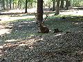 Hirsch Wildpark KL.jpg
