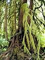 Hoh rainforest witchesbeard goatsbeard moss lichen NPS Photo (22452342034).jpg