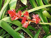 Hohenbergia stellata RBGK.JPG