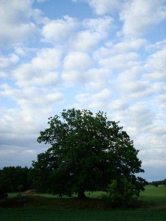 Hölö - Image: Holo Tree