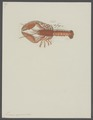 Homarus capensis - - Print - Iconographia Zoologica - Special Collections University of Amsterdam - UBAINV0274 097 02 0006.tif