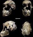 Homo naledi LES1 cranium.jpg