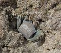 Horned Ghost Crab(Ocypoda ceratophthalma) -8.jpg