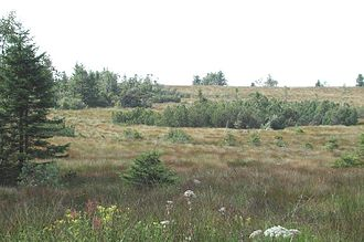 Hornisgrinde - Protected areas of the raised bog on the summit plateau of the Hornisgrinde with typical bog vegetation and crooked, stunted fir trees