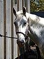 Horse drawn hearse horse City of London Cemetery 1 lighter.jpg