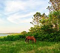 Horse on Assateague Island.jpg