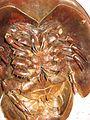Horseshoe Crab 6.jpg