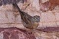 House Sparrow - Gråsparv (Passer domesticus)-3574 - Flickr - Ragnhild & Neil Crawford.jpg