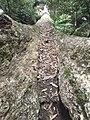Huge Swamp Gum Tree.jpg