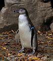 Humboldt-Pinguin Spheniscus humboldti Tierpark Hellabrunn-2.jpg