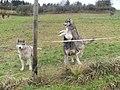 Husky - panoramio.jpg