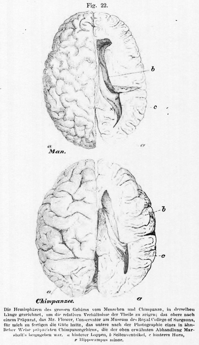 Hippocampus-Debatte - Wikiwand