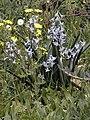 Hyacinthus orientalis, wild.JPG