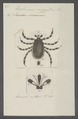 Hyalomma - Print - Iconographia Zoologica - Special Collections University of Amsterdam - UBAINV0274 073 02 0005.tif