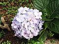 Hydrangea macrophylla-xavier cottage-yercaud-salem-India.JPG